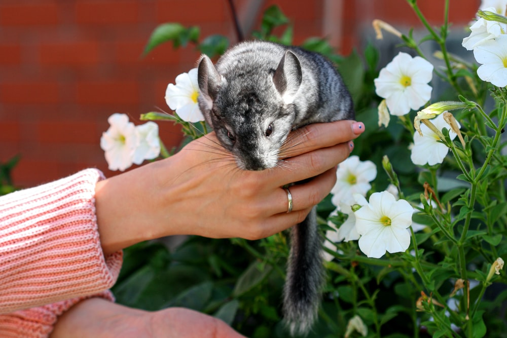 person holding gray and white cat
