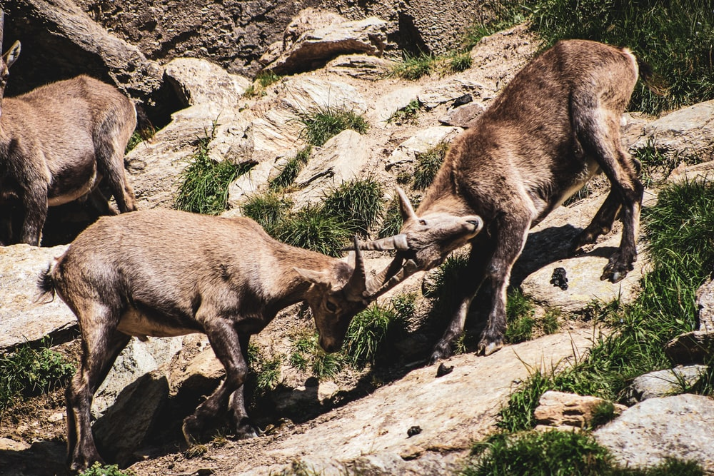 brown deer on rocky ground during daytime