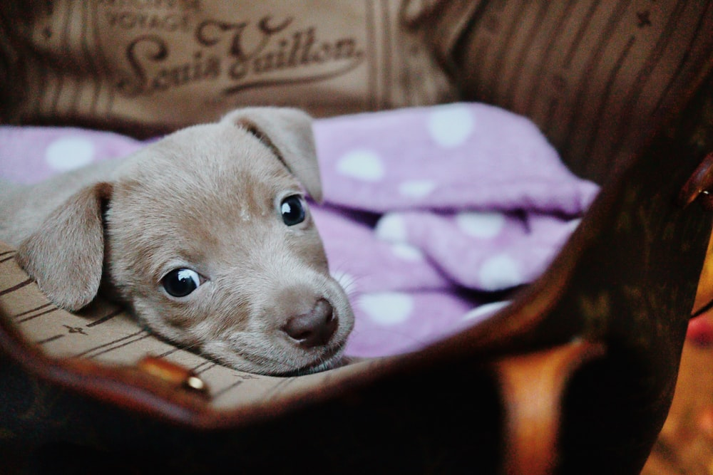 brown and white short coated puppy on purple textile