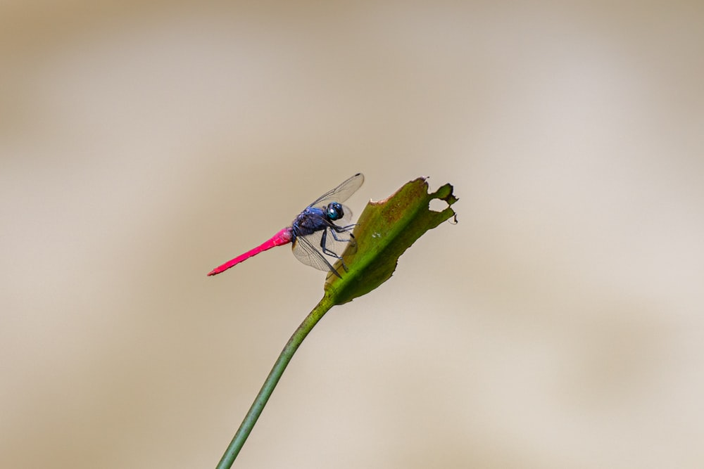blue and black dragonfly perched on green leaf in close up photography during daytime