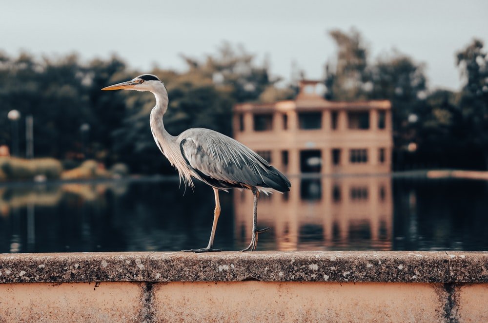 grey heron on brown concrete fence during daytime