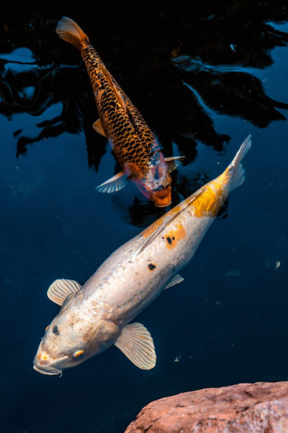 white and yellow fish in water