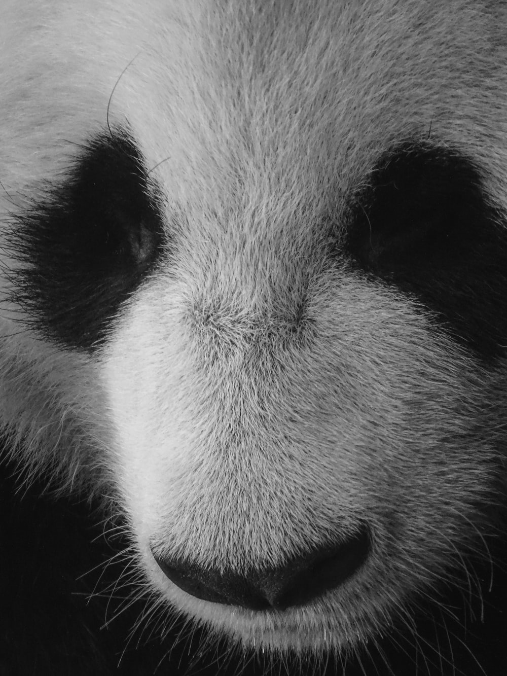 white and black panda in close up photography