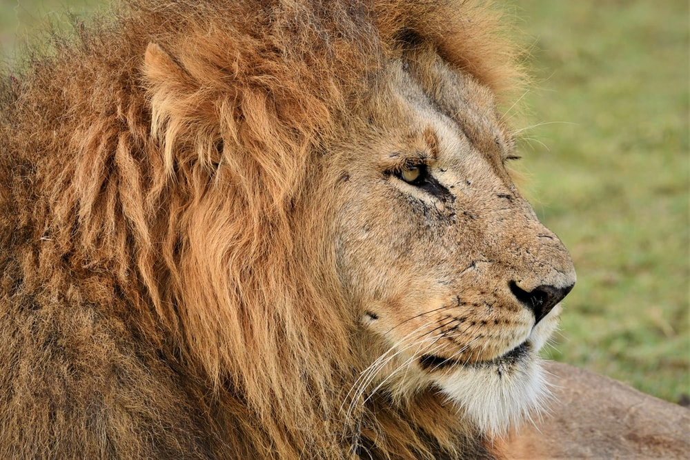 brown lion on green grass during daytime