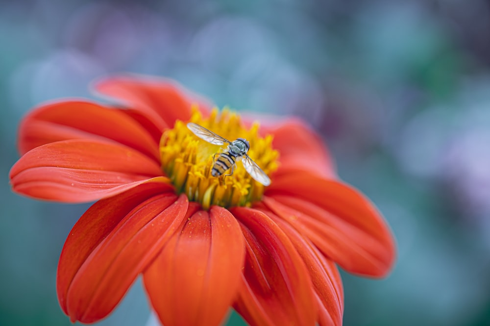 honeybee perched on orange flower in close up photography during daytime