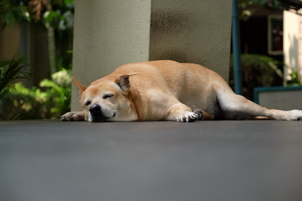 brown short coated dog lying on gray concrete floor