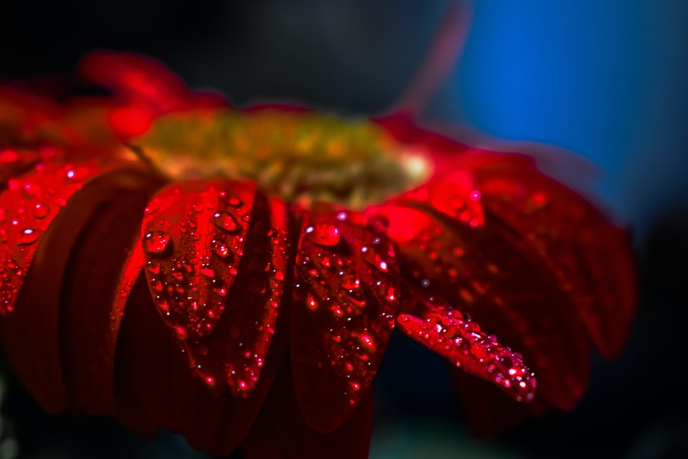 red flower with water droplets