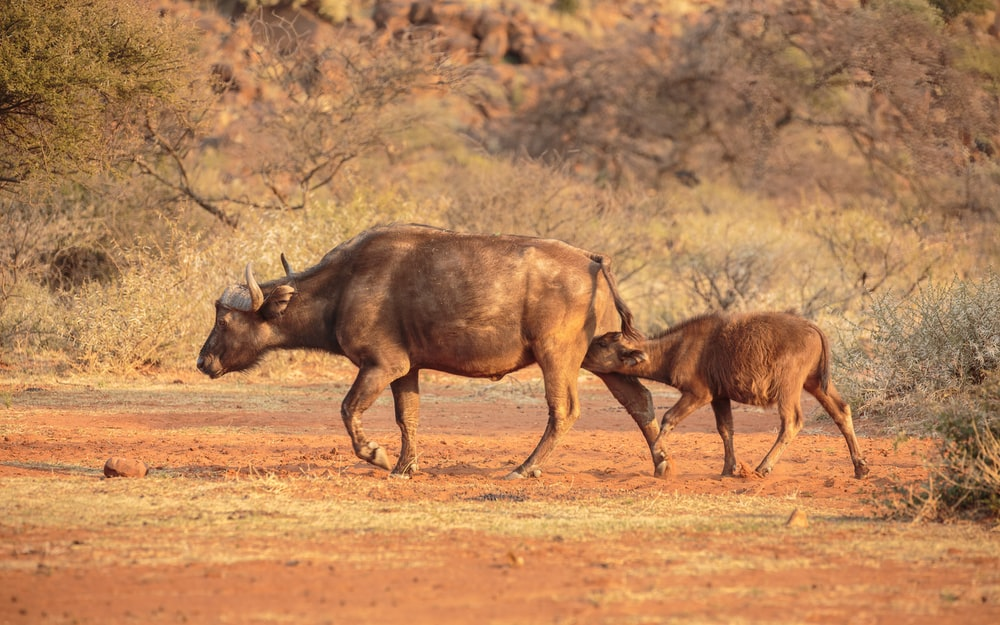 brown water buffalo on brown field during daytime