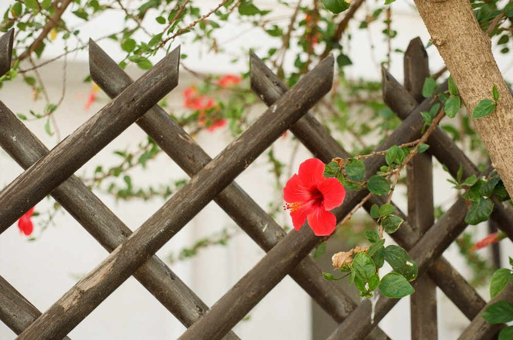 red flower on brown wooden fence