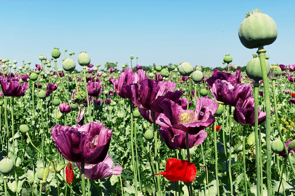 purple tulips field under blue sky during daytime