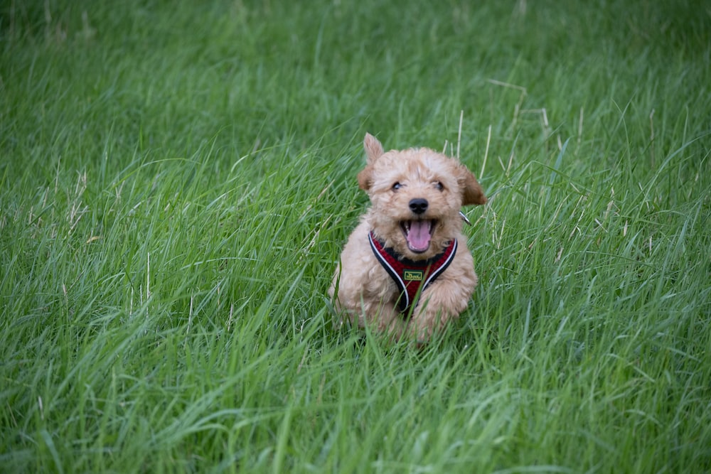 brown long coated small dog running on green grass field during daytime