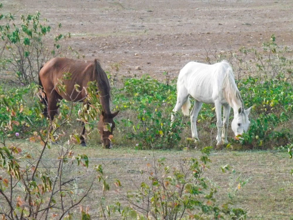 white and brown horse eating grass