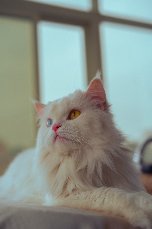 white cat on black table