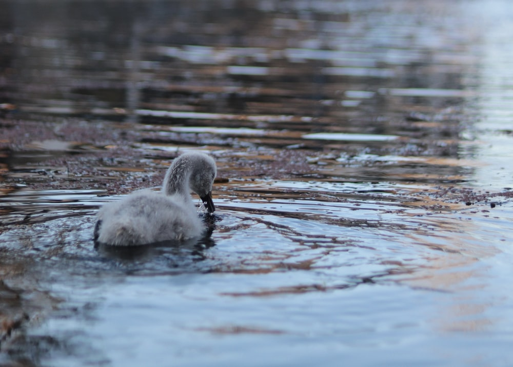 2 white swan on water during daytime