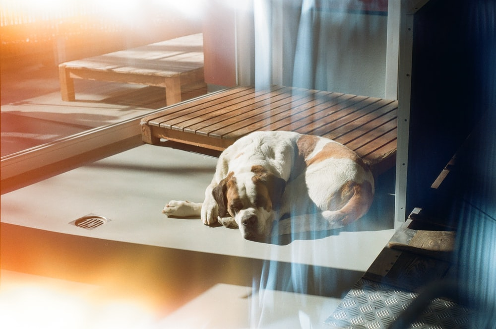 white short coated dog lying on floor