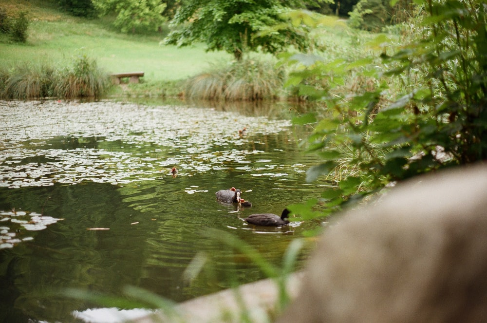 black and brown ducks on water