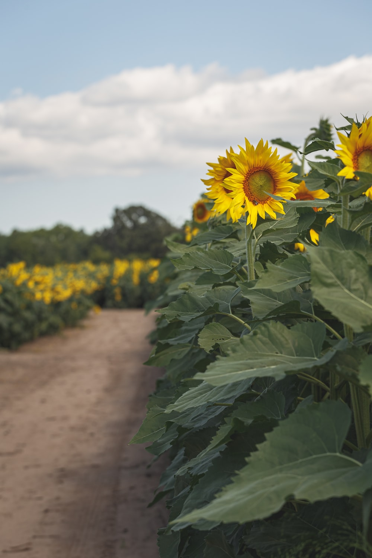 sunflower field under white sky during daytime