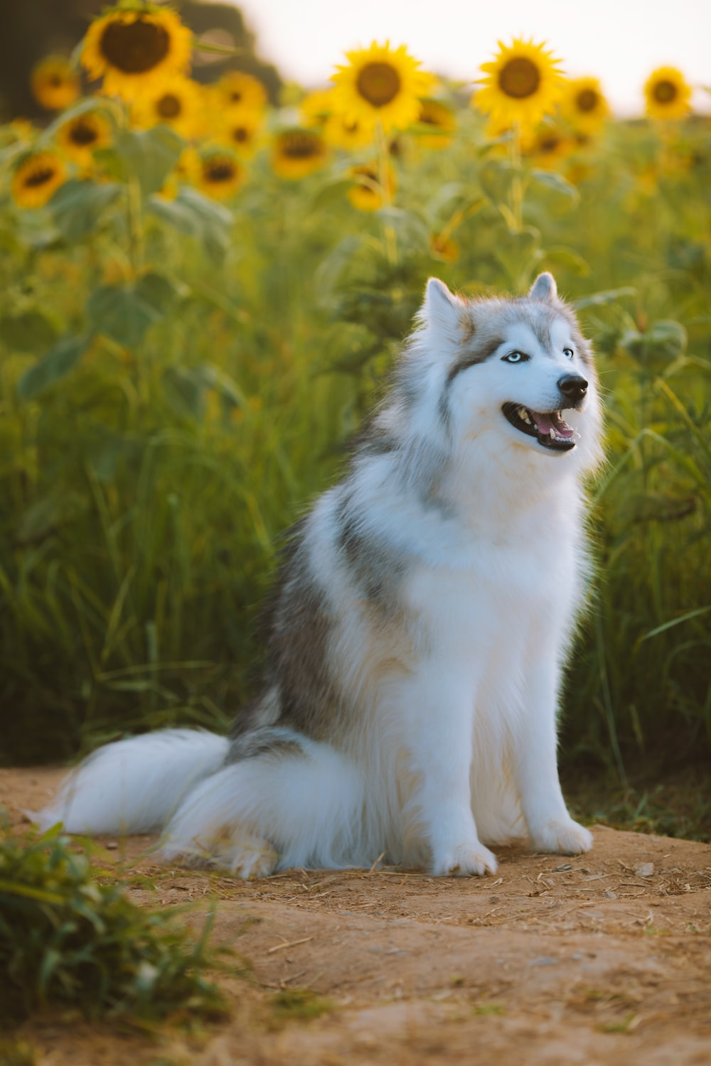white and black siberian husky puppy on green grass during daytime
