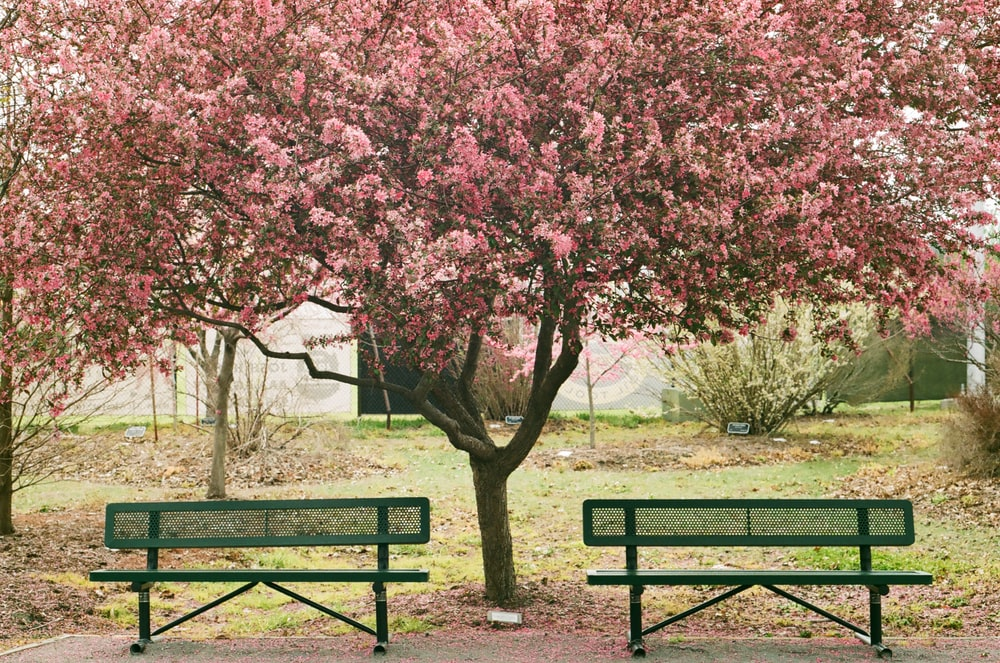 pink cherry blossom tree on green grass field during daytime