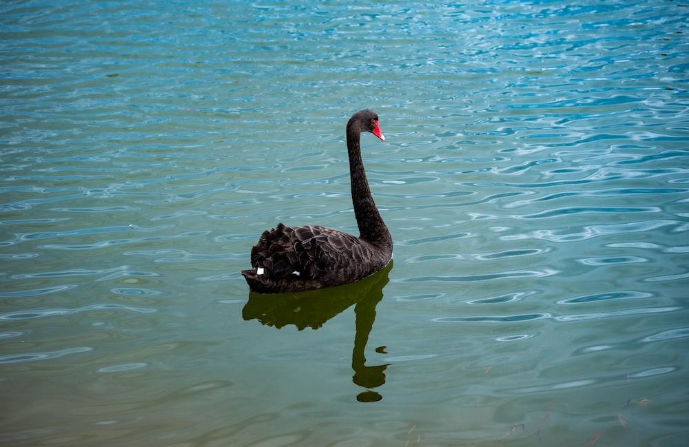 black swan on body of water during daytime