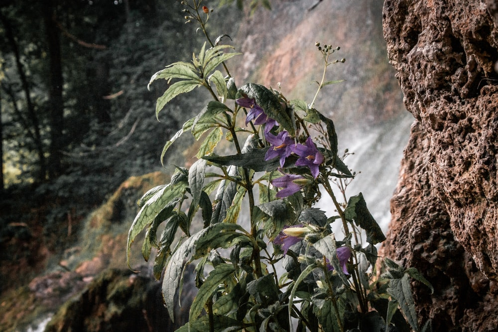 green and purple plant near brown rock