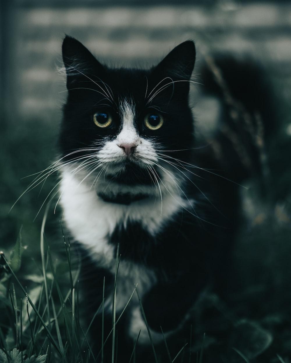 tuxedo cat on green grass