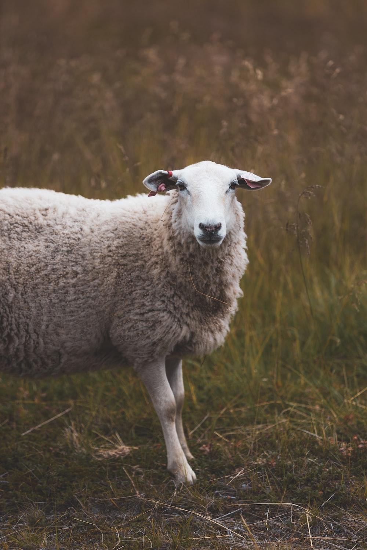 white sheep on green grass during daytime