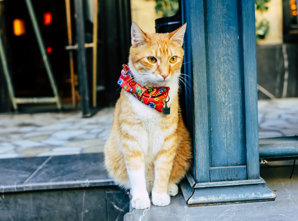 orange tabby cat wearing white and red scarf