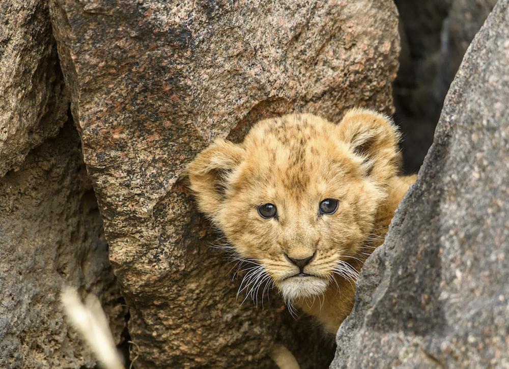 brown lion cub on gray rock