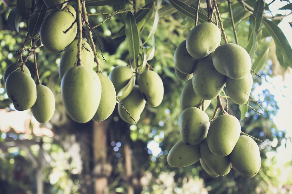 green fruits on tree during daytime