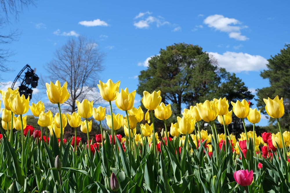 yellow tulips field under blue sky during daytime