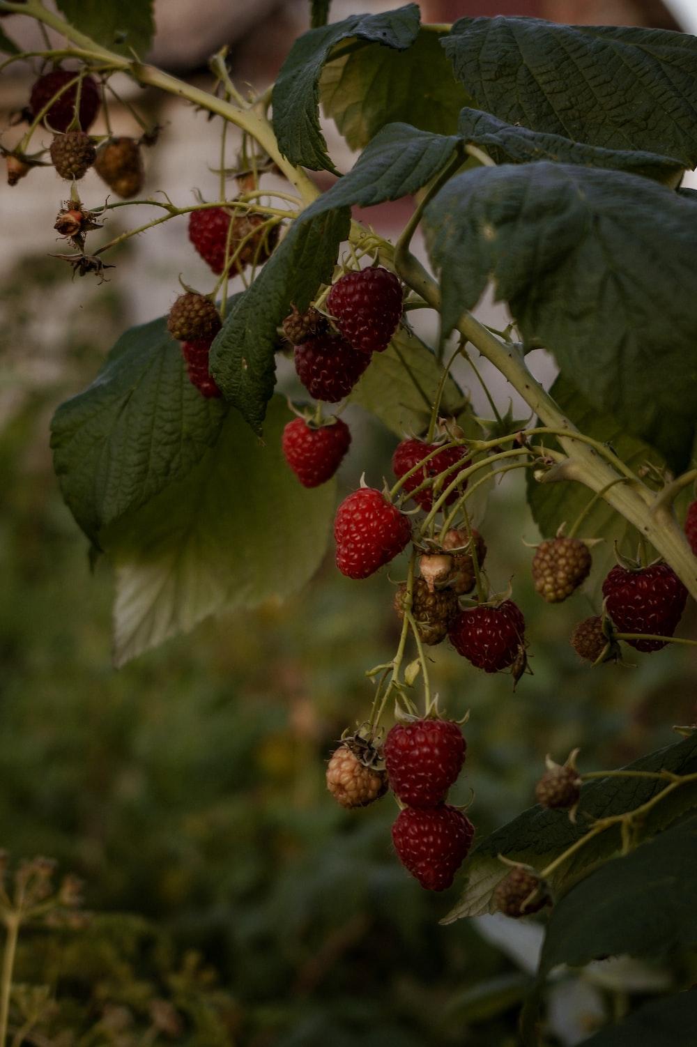 red raspberry fruit on green leaves