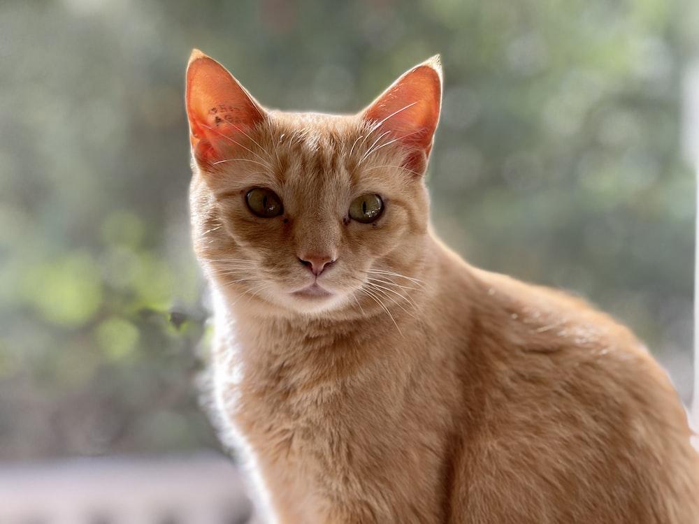 orange tabby cat on white table