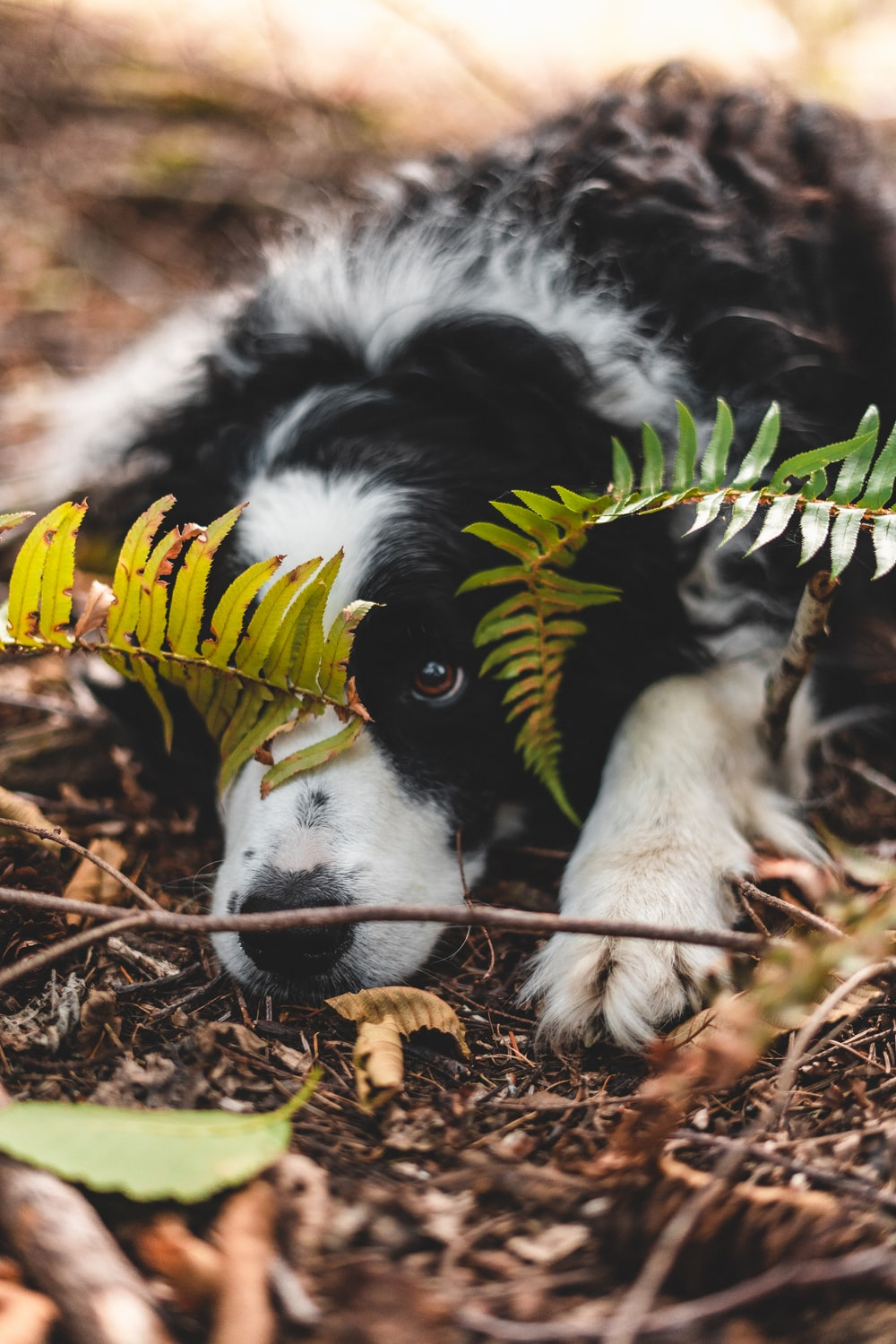 black and white border collie puppy biting yellow and brown plant