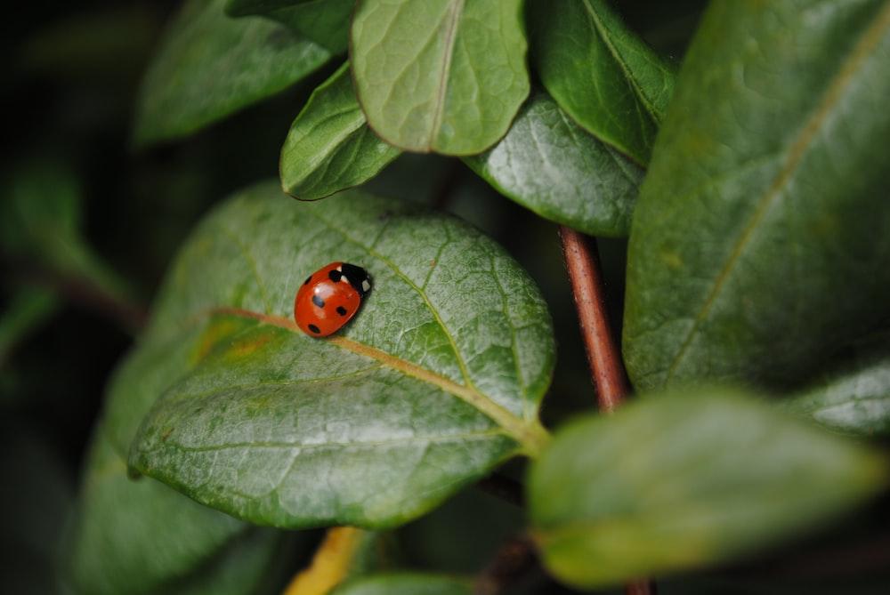 red ladybug on green leaf during daytime