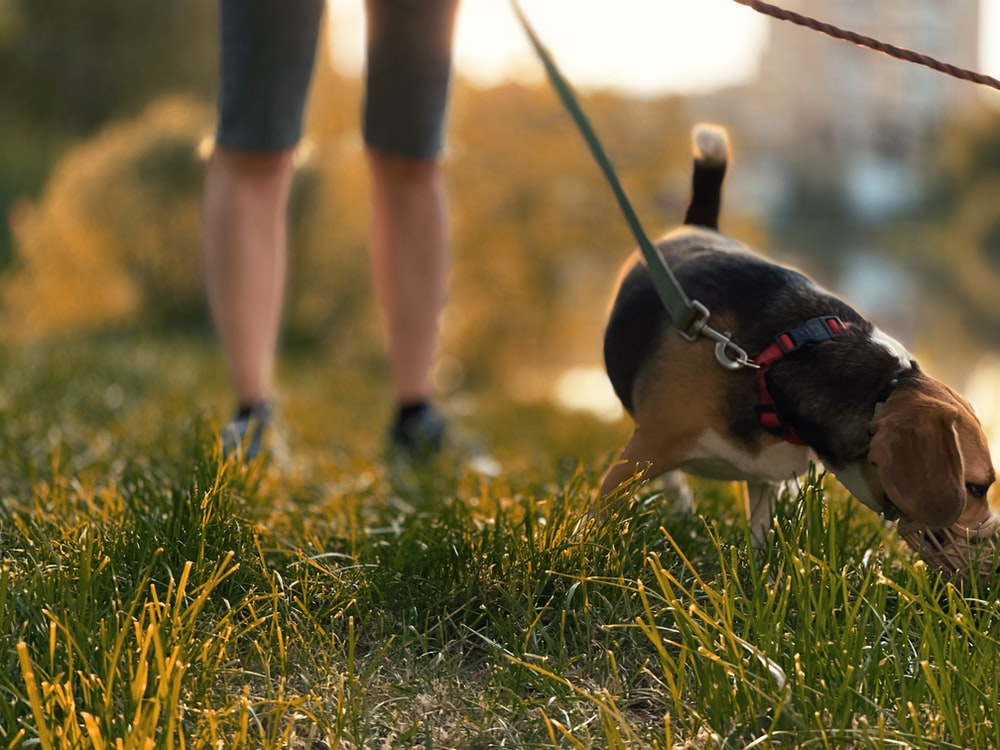 brown and black short coated dog running on green grass field during daytime
