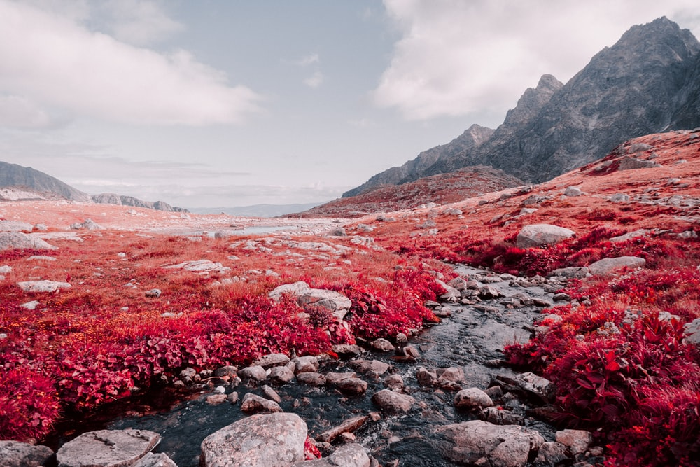 red flowers on rocky field near mountain under cloudy sky during daytime