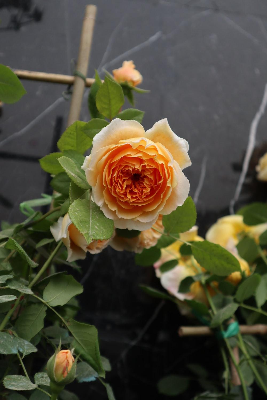 white and orange rose in bloom during daytime