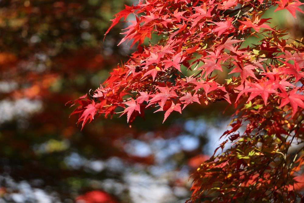 red maple leaves in tilt shift lens