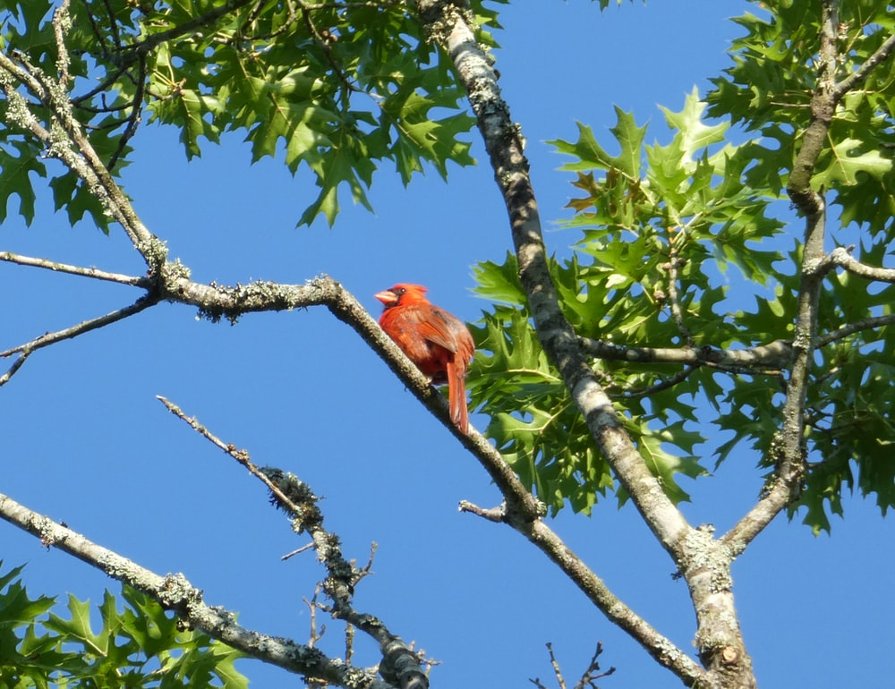 red cardinal bird on tree branch during daytime