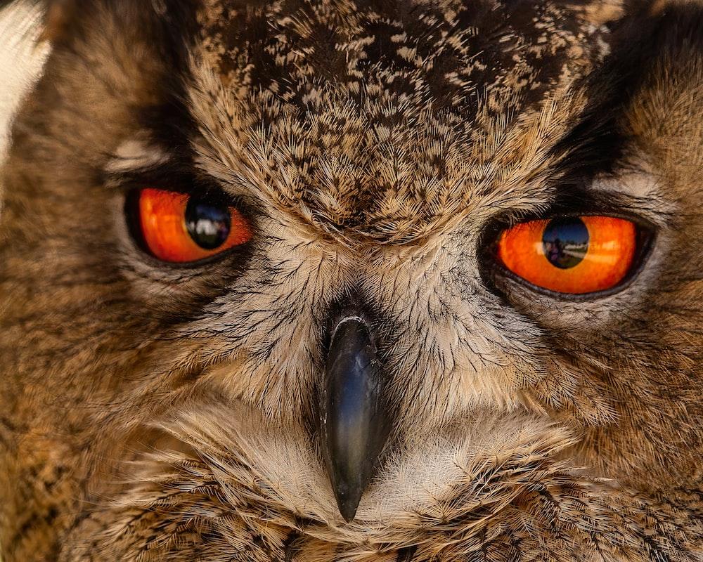 brown and black owl eye