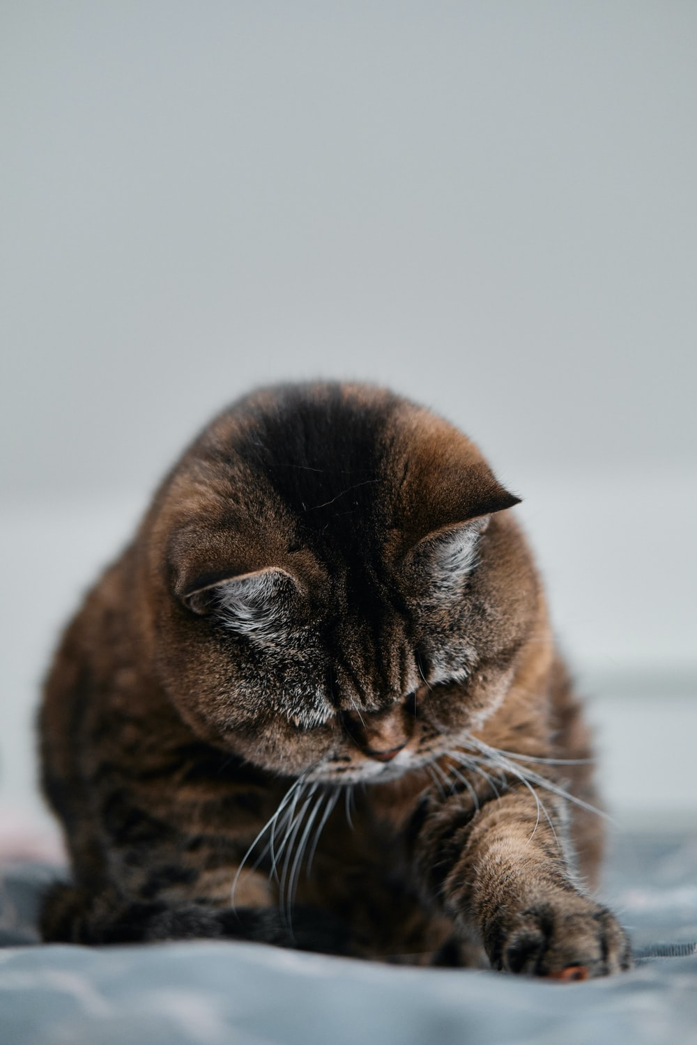 brown and black cat in close up photography
