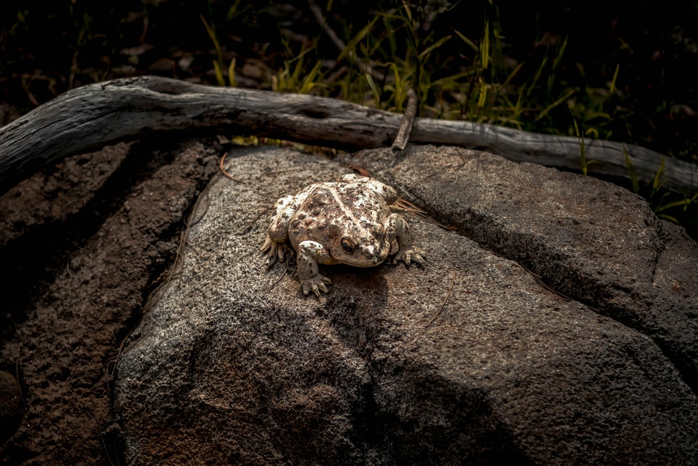 brown and white frog on brown rock