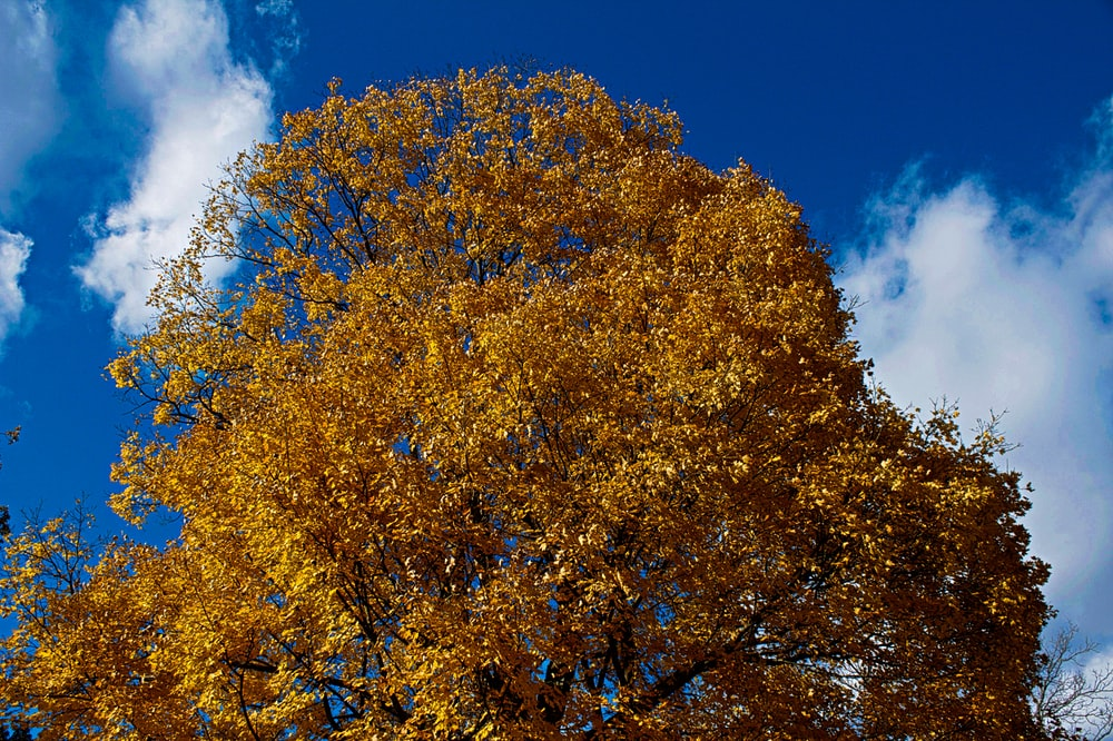 yellow leaves tree under blue sky during daytime