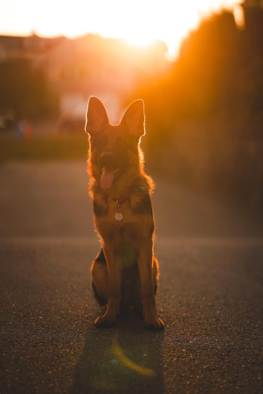 brown and black short coated dog on gray asphalt road during sunset