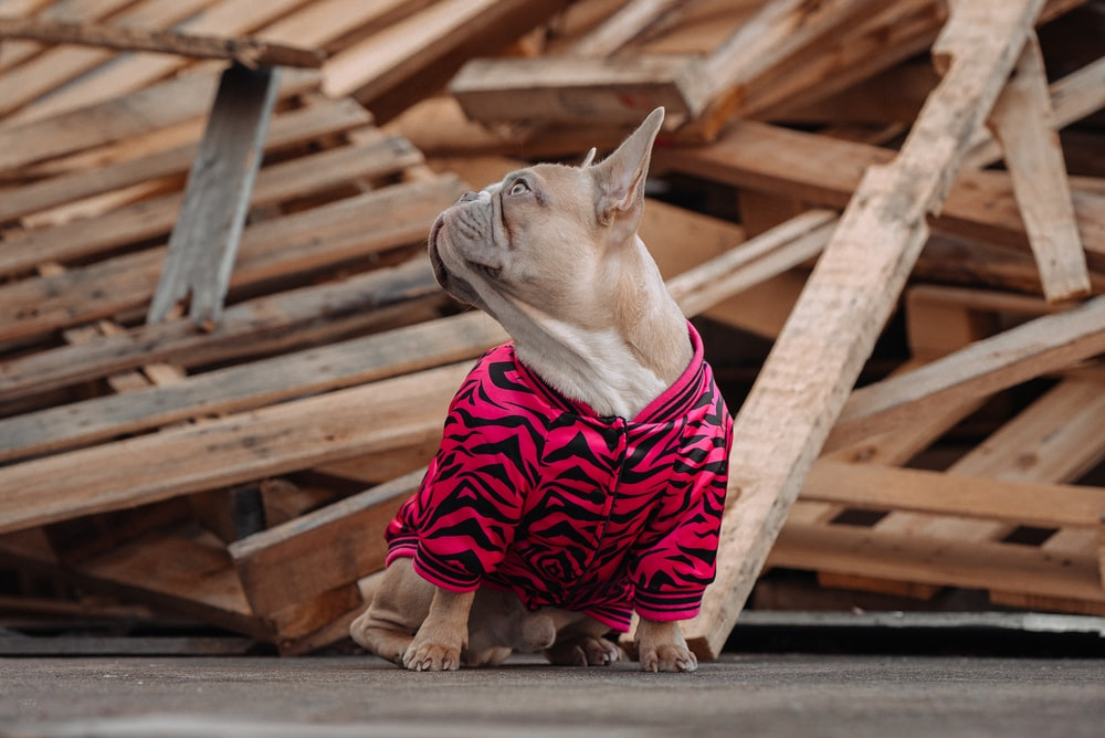 brown short coated dog wearing red and white stripe shirt