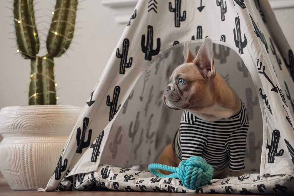 brown chihuahua on white and black textile