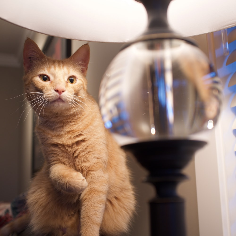 orange tabby cat on black wooden table