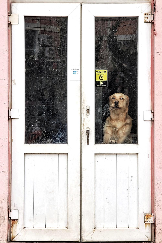 brown short coated dog sitting on white wooden door