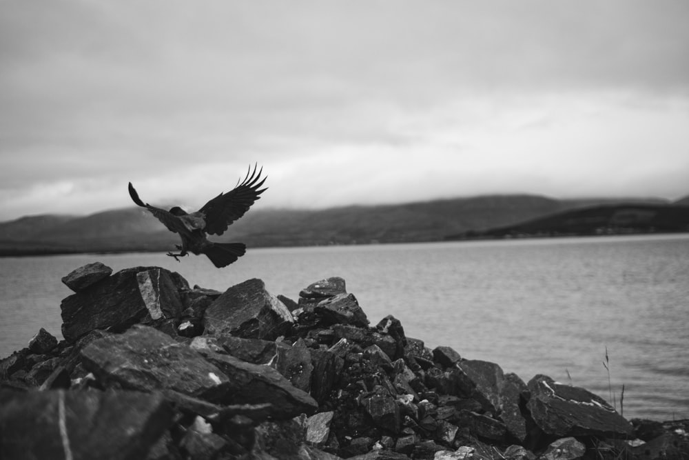 grayscale photo of bird flying over body of water
